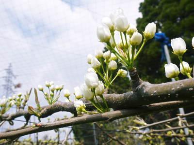 熊本梨 本藤果樹園 元気な花が咲きました!!2017 開花と収穫の順番は逆なんです!_a0254656_17501478.jpg