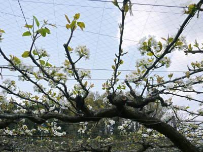 熊本梨 本藤果樹園 元気な花が咲きました!!2017 開花と収穫の順番は逆なんです!_a0254656_18060004.jpg