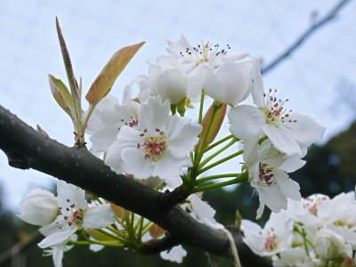 熊本梨 本藤果樹園 元気な花が咲きました!!2017 開花と収穫の順番は逆なんです!_a0254656_18111529.jpg