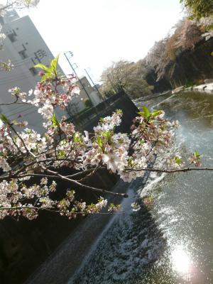 SAKURA  花びらのシャワーを浴びながら♪復路編_a0165160_11360957.jpg