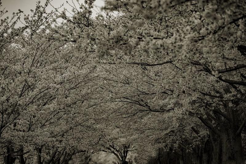記憶の残像 2017年 桜  千葉県成田市 _f0215695_18200406.jpg