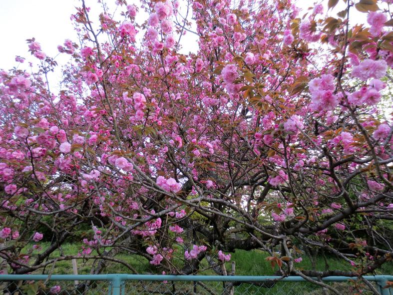 ■桜散り、桜咲く──週替わりの夕暮れ[4/16]_d0190217_2283078.jpg