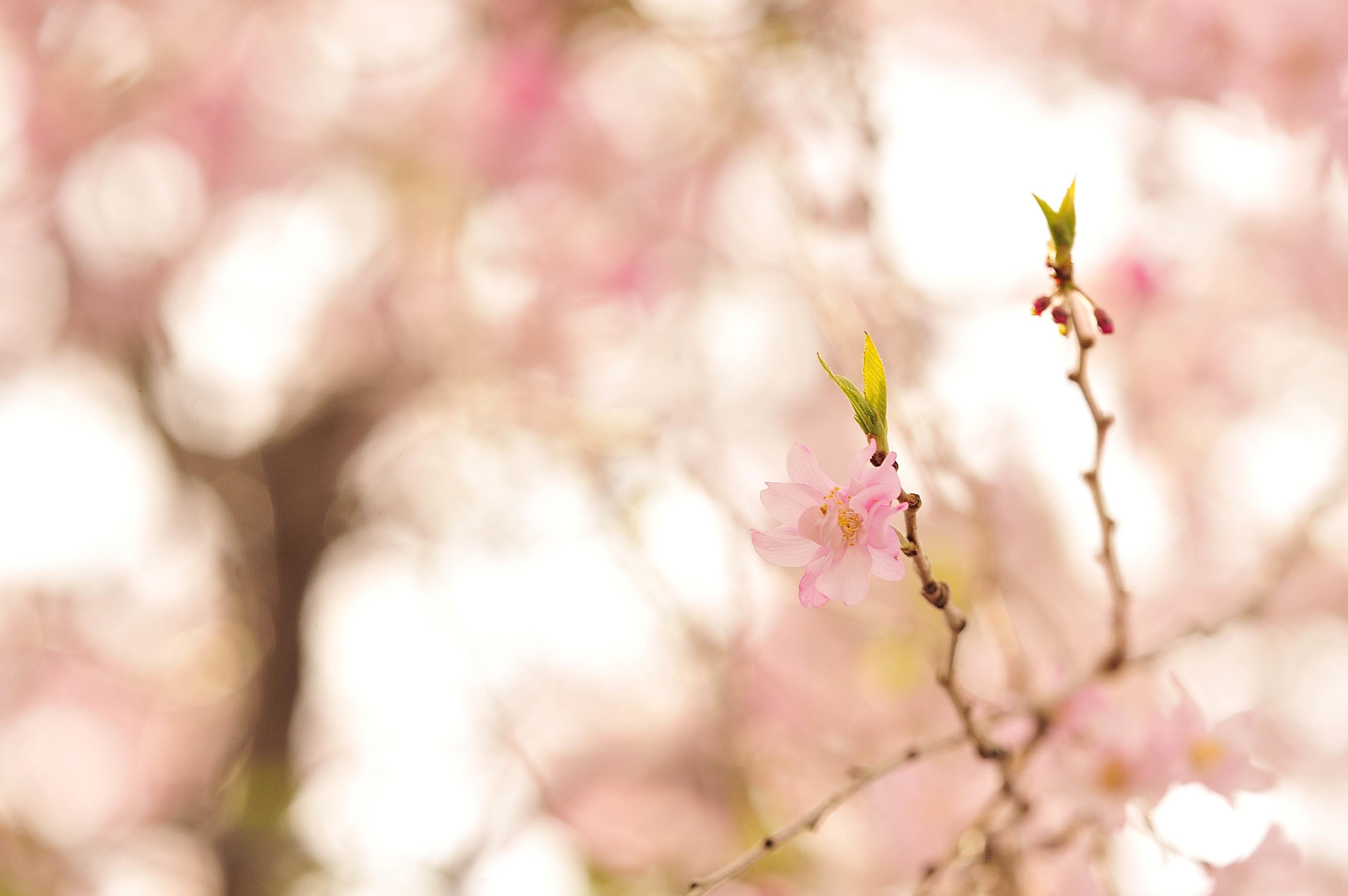 枝垂桜_a0059621_21320144.jpg