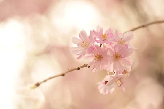 枝垂桜_a0059621_21321051.jpg