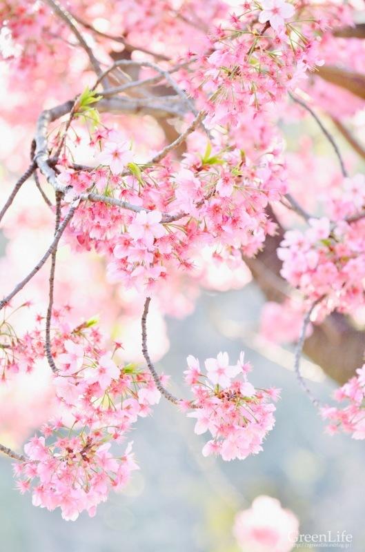 横浜の桜_f0321522_10331077.jpg