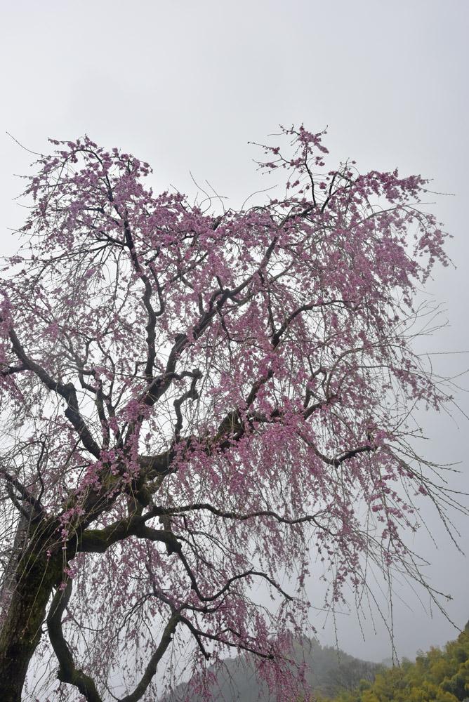 地元の桜_e0367330_21133481.jpg