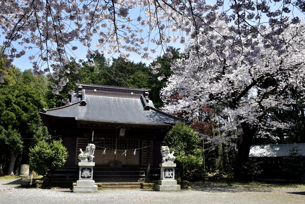 地元の桜_e0367330_2124414.jpg