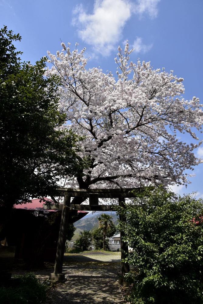 地元の桜_e0367330_2132224.jpg