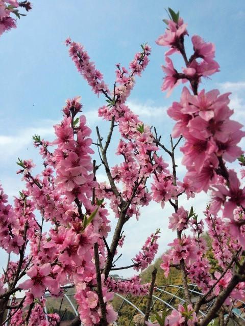11種のじゃがいもが芽を出し始めた。第1位は「アンデスレッド」_a0333431_18205170.jpg