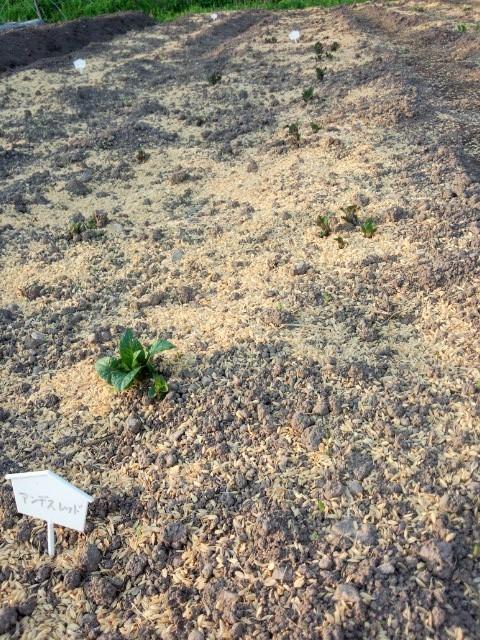 11種のじゃがいもが芽を出し始めた。第1位は「アンデスレッド」_a0333431_18302829.jpg