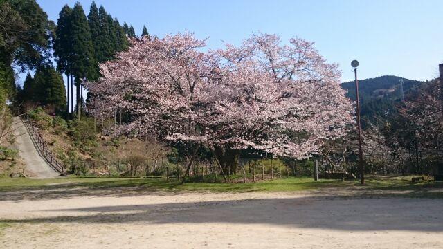 久保山のヤマザクラ見に行ってきました_e0149436_22594920.jpg