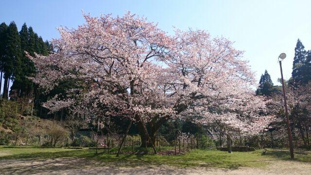 久保山のヤマザクラ見に行ってきました_e0149436_23004326.jpg