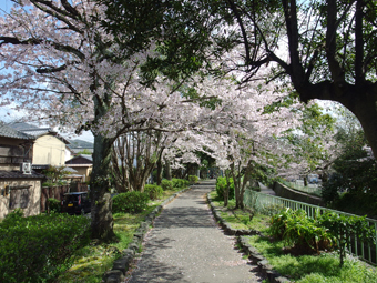 今年の桜_a0014840_22411442.jpg
