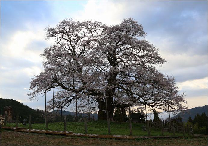 醍醐桜_a0256349_23105822.jpg