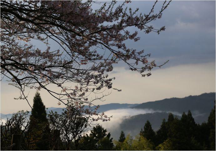 醍醐桜_a0256349_23111174.jpg