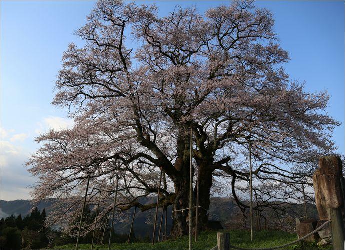 醍醐桜_a0256349_23112379.jpg