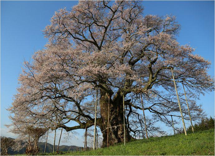 醍醐桜_a0256349_2311445.jpg