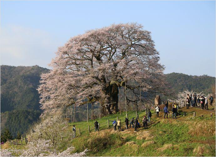 醍醐桜_a0256349_23115452.jpg