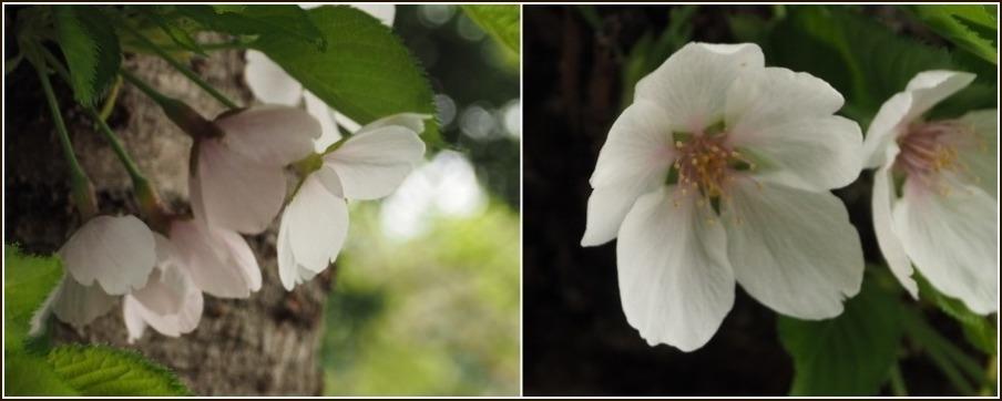 桜の見納めと鳥さん_c0228386_15252652.jpg