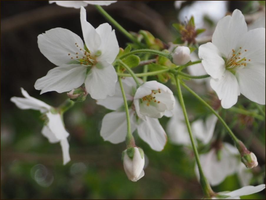 桜の見納めと鳥さん_c0228386_15253884.jpg