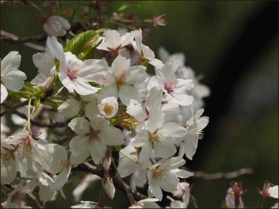 桜の見納めと鳥さん_c0228386_15505775.jpg