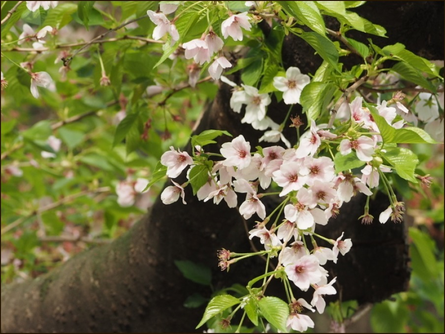 桜の見納めと鳥さん_c0228386_15565695.jpg