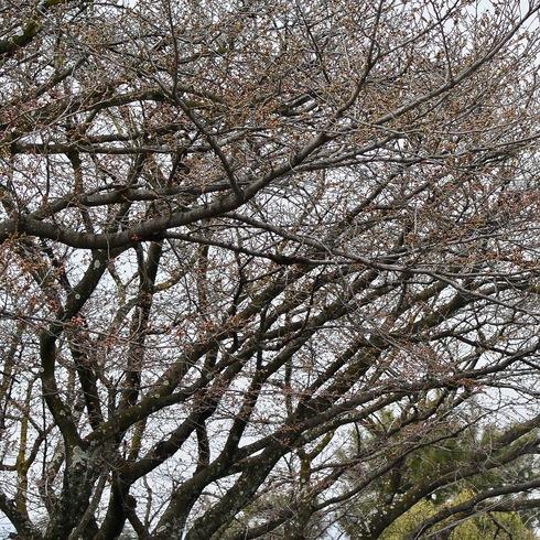 2017 桜.さくら.サクラ_f0099102_12242077.jpg