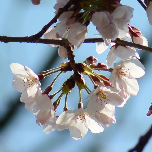 2017 桜.さくら.サクラ_f0099102_12242559.jpg