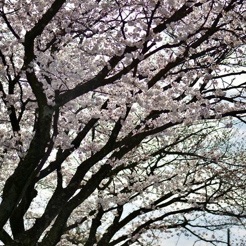 2017 桜.さくら.サクラ_f0099102_12243830.jpg