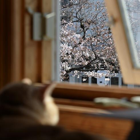 2017 桜.さくら.サクラ_f0099102_12245938.jpg