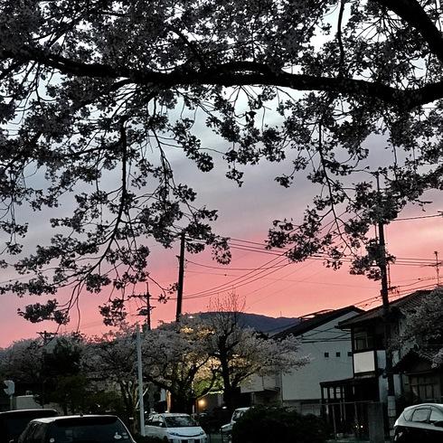 2017 桜.さくら.サクラ_f0099102_12255589.jpg