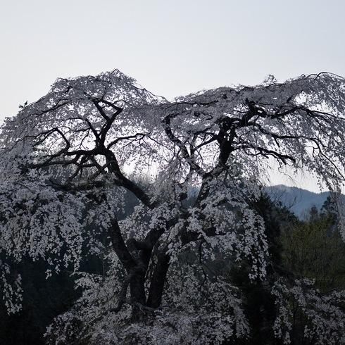 2017 桜.さくら.サクラ_f0099102_12261113.jpg