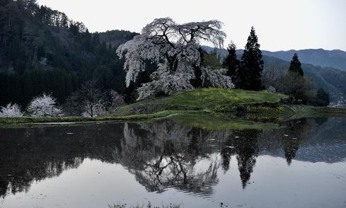 2017 桜.さくら.サクラ_f0099102_12262062.jpg