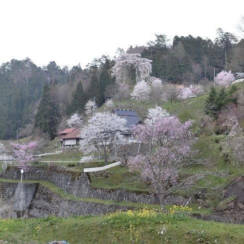 2017 桜.さくら.サクラ_f0099102_12262935.jpg