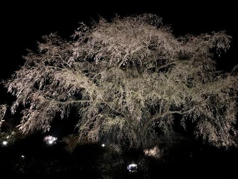 2017 桜.さくら.サクラ_f0099102_12263746.jpg