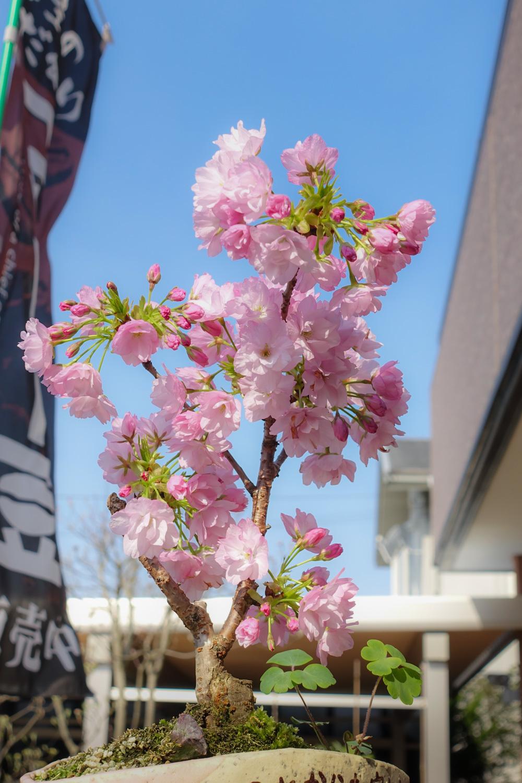 今年も咲きました_c0220824_08531962.jpg
