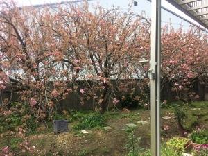 恒例桜の会_a0059035_22182569.jpg