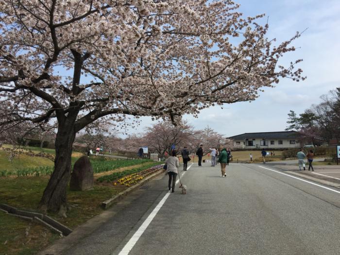 桜🌸_a0156636_19411347.jpg