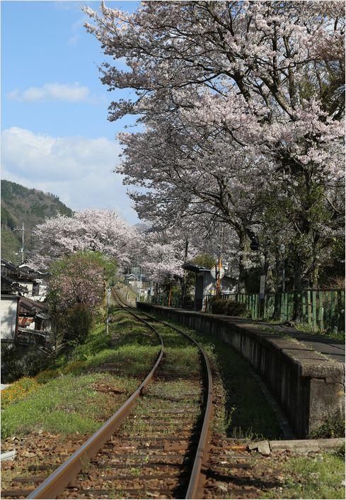 三浦駅の桜_a0256349_10193829.jpg