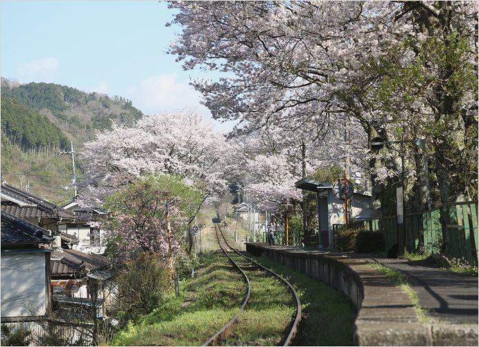 三浦駅の桜_a0256349_10195613.jpg