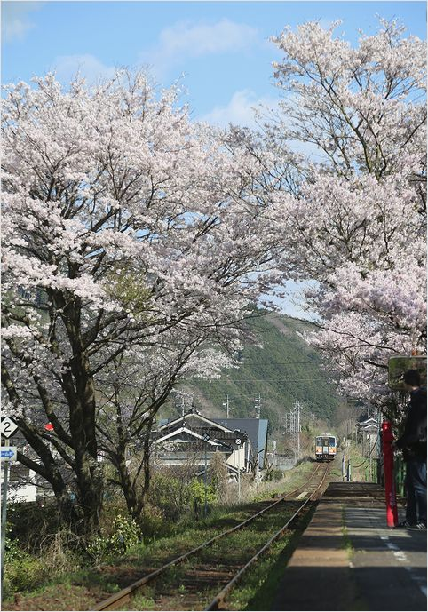 三浦駅の桜_a0256349_10201212.jpg