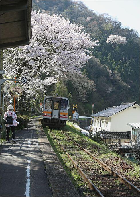 三浦駅の桜_a0256349_1020441.jpg