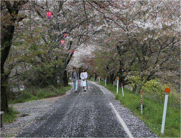 井原堤桜_a0256349_1219087.jpg
