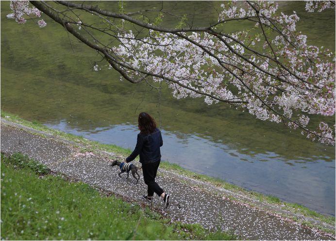 井原堤桜_a0256349_12193237.jpg