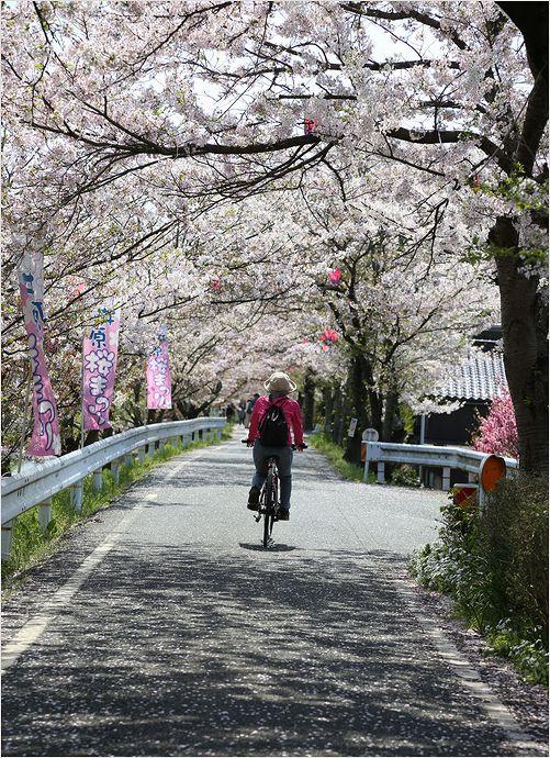 井原堤桜_a0256349_1252730.jpg