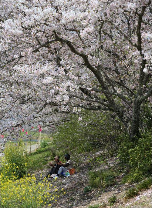井原堤桜_a0256349_126695.jpg