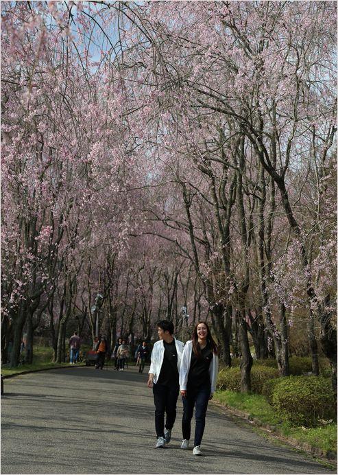 世羅甲山ふれあいの里 しだれ桜_a0256349_13422665.jpg