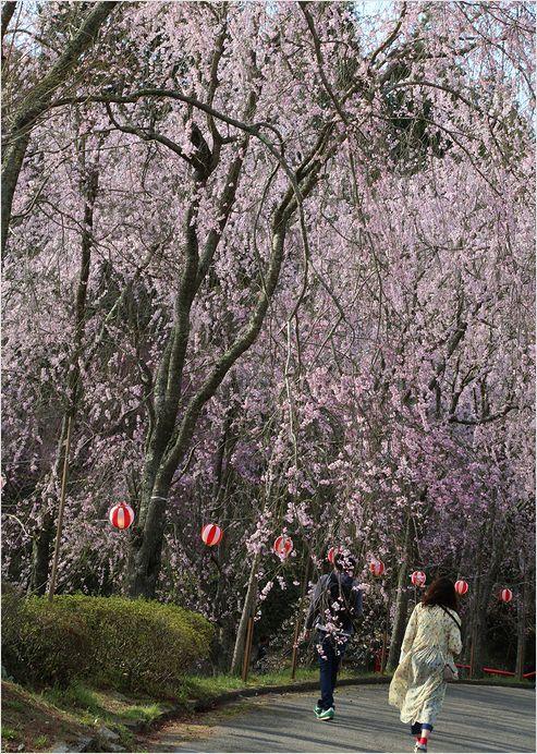 世羅甲山ふれあいの里 しだれ桜_a0256349_13424916.jpg