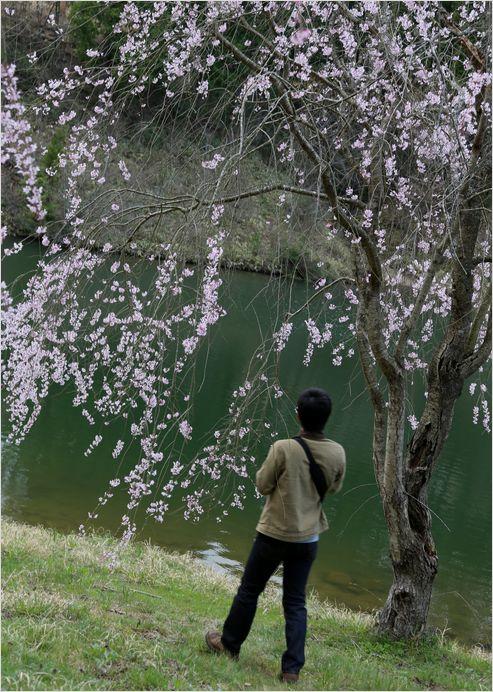 世羅甲山ふれあいの里 しだれ桜_a0256349_1343415.jpg