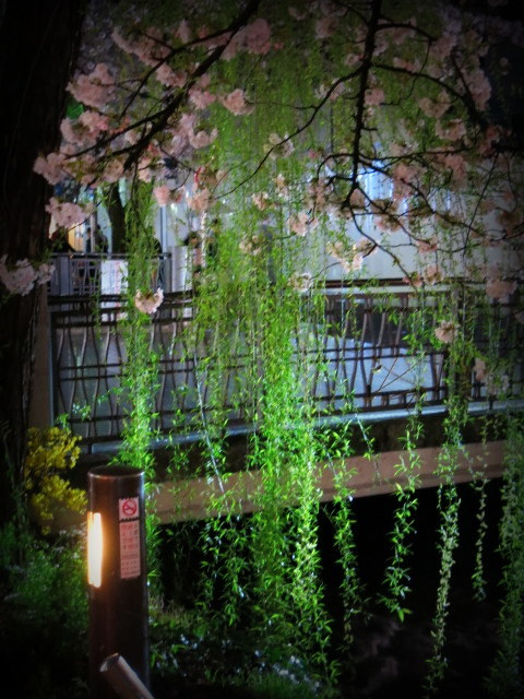 京都お花見 ⑤高瀬川沿いの桜*ライトアップ_f0236260_04255021.jpg